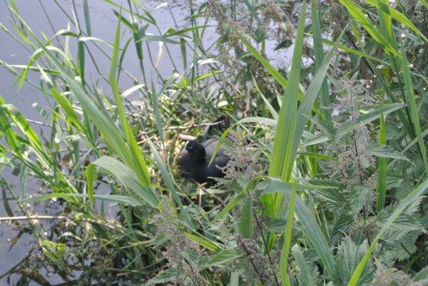 la  foulque sur son nid
