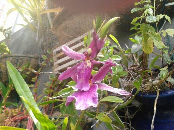 Floraison de ma nouvelle orchydees.