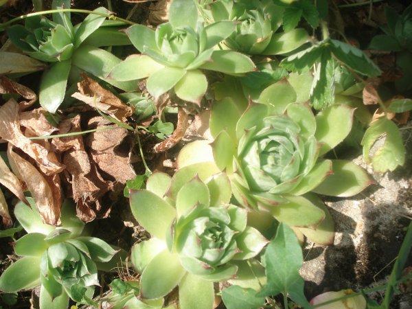Post le mardi 23 juillet 2013 04 47 amour et amitiee for Artichaut plante grasse