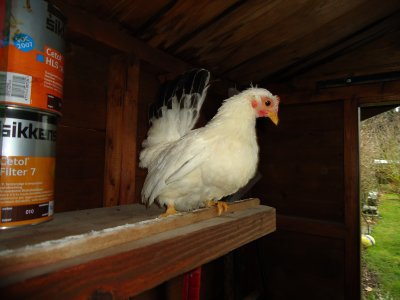 nouvelle petite poule Nagazaki blanche a queue noir