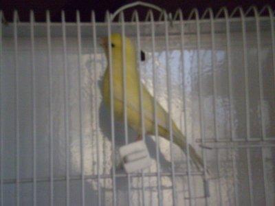 Novelli 2011: canarino n°140 (avorio brinato)