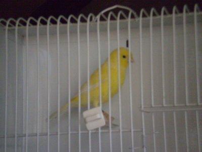 Canarino n°184 (giallo brinato)