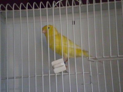 Canarino n°163 (giallo brinato)