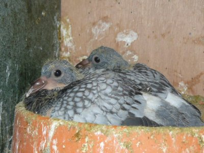 pigeonneaux couple 3 Bien poussé