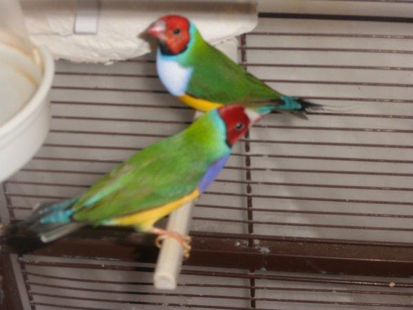 deux males à tete rouge pb