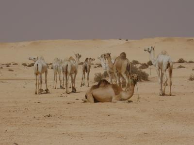 Vaisseaux du désert !