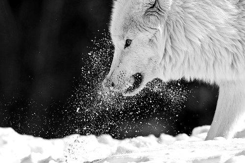 Devient loup, devient haine et amour entremêlées.