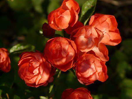des roses pour ma rose avant de dormir