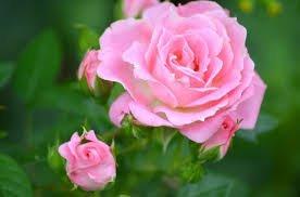 voilà ma rose