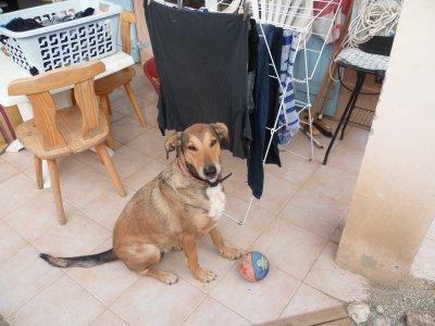ma chienne ( doberman croisée coller a poil ras )
