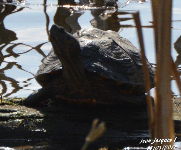 marais des marionvilles . Belgique hainaut baudour. Surprise une tortue.
