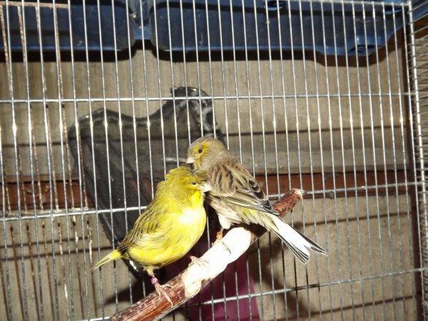 mon nouveau couple de canaris