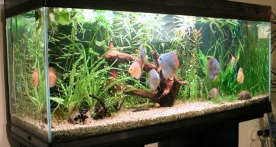 Blog de discus6161 page 2 la passion des discus - Aquarium 350 litres complet meuble et poissons ...
