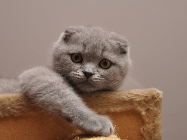 Scottish fold et le highland fold