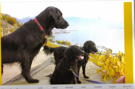 nos chiens    flatcoed retrivers
