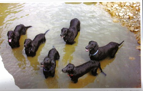 nos chiens    flatcoed retrivers