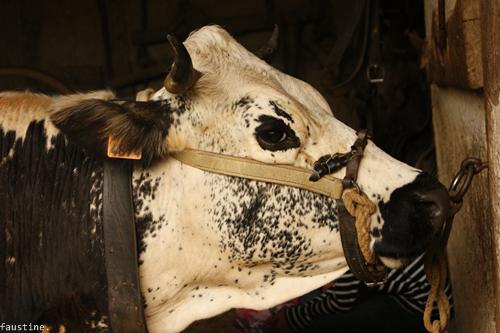 Une vache .