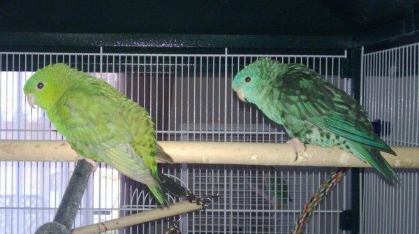 Les mâles catherines classique et ailes grises