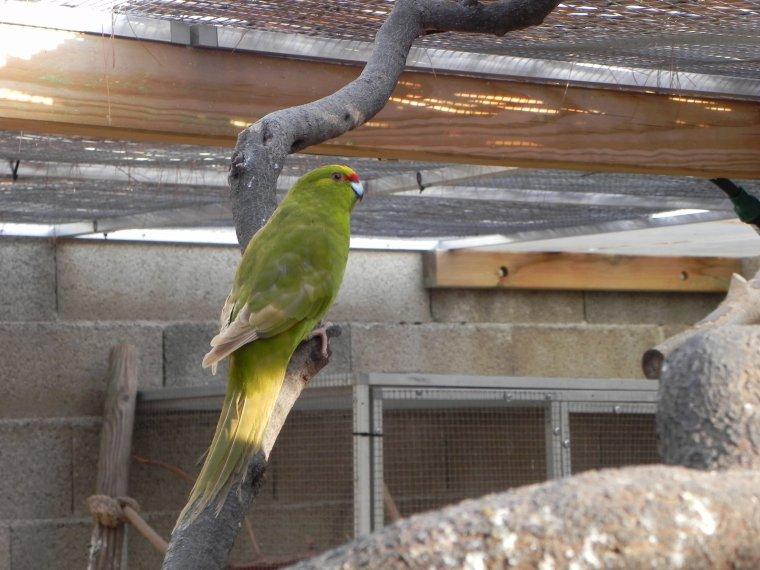 Kakariki Front jaune