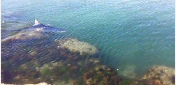 Un requin bleu aperçu à la Grande-Motte !!!