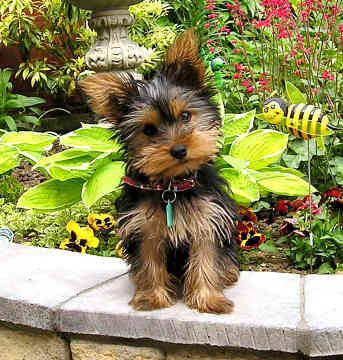 B b yorkshire voila mon blog - Mascotas originales para tener en casa ...