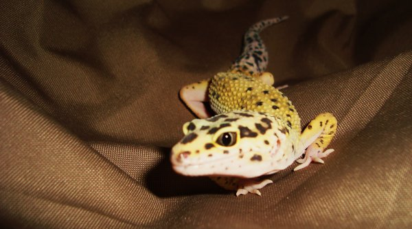Mes Trois Geckos Leopards !  =)