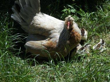 et voilà maman pouele et ses 9 poussins