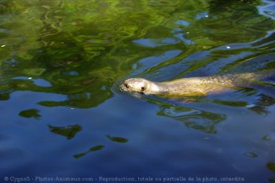 LA LOUTRE EN EUROPE ( article en cours)