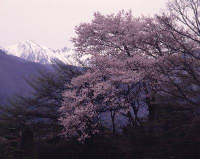 Sakura d'Osaka