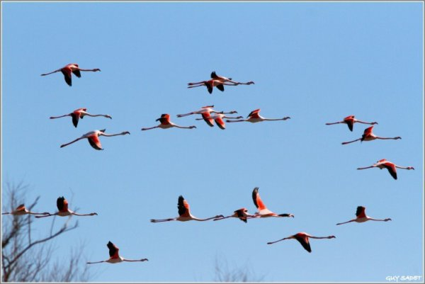 les flamants rose