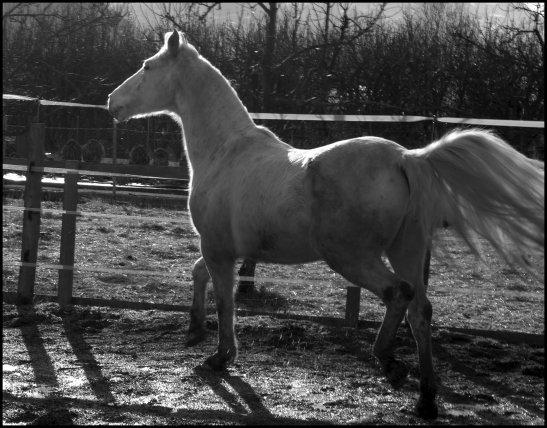 Le cheval, comme chacun sait, est la part la plus importante du chevalier. [Jean Giraudoux]