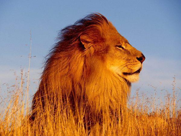 les amazighes ce sont des lion