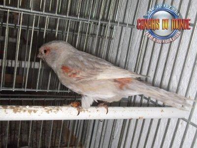 femelle ailes grises rouge mosaique