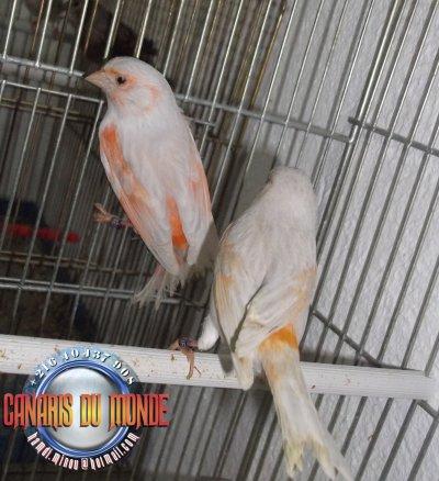 femelles brun opale rouge mosaique