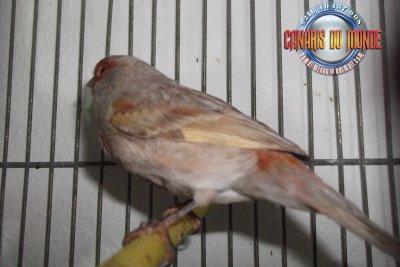 Mâle ailes grises rouge mosaique