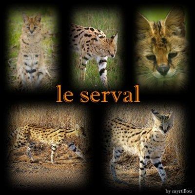 Serval!!!