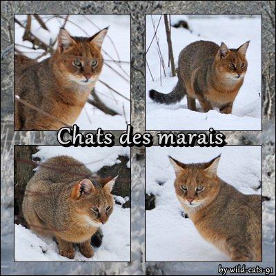 Le chat des marais!!!!