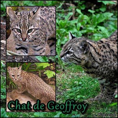 le chat de Geoffroy
