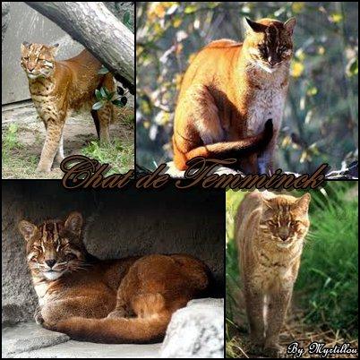 Le chat de Temminck ou le chat Doré d'Asie!!
