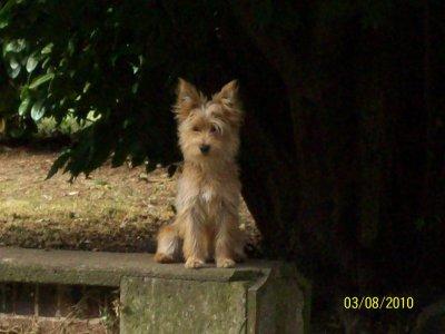 Etoile Yorkshire Terrier 13 mois