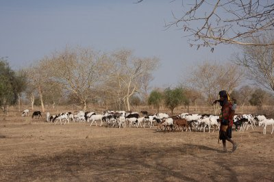 le troupeaux du villallage
