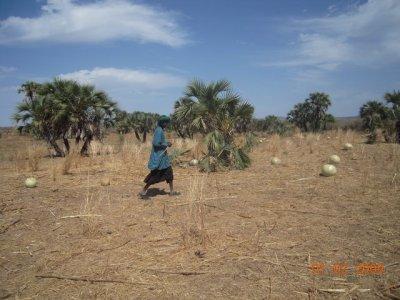 le champs d'arachide de mamoudou avec des calebesse