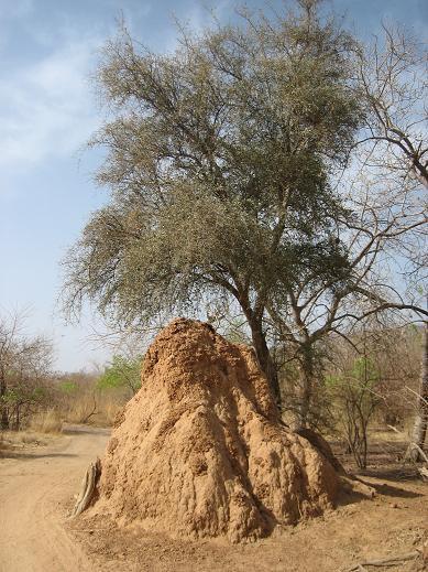 la termitiaire