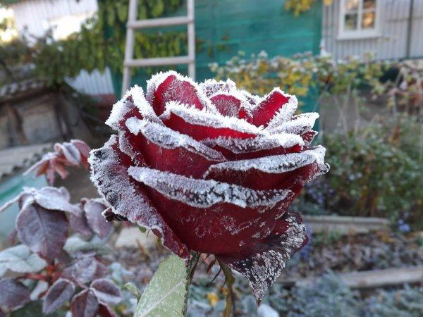 Une rose givrée
