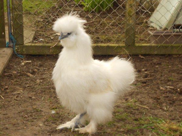 nouveau coq nègre soie blanc barbu :D
