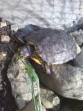 Photo de tortue-alsace