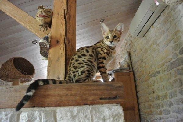 le chat le plus cher au monde ,entre 2500 a 7000 euro