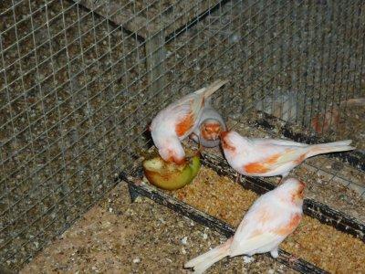 mâles lipochrome mosaique rouge