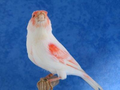 Femelle lipochrome mosaique rouge