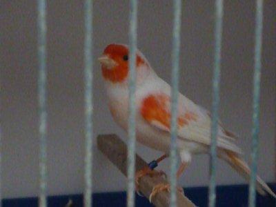 Mâle reproducteur 2012